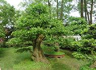 古桩榆树盆景图片苍劲有力