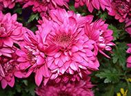 花中之王的牡丹花高清图片