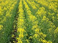 春天的唯美油菜花图片
