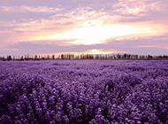 普罗旺斯美到极致的薰衣草花期图片