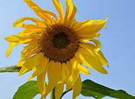向日葵花图片精致鲜花特写