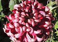阳光下盛开的紫红色菊花图片