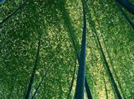 清秀的竹子高清图片赏析