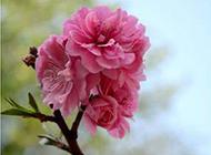 春日桃花图片漂亮迷人