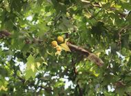 枝葉茂盛的梧桐樹圖片