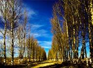 戈壁灘高大魁梧的白楊樹圖片