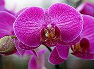 唯美的紫色蝴蝶兰高清图片写真