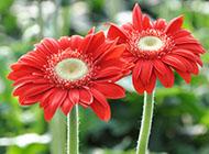 非洲菊鲜艳外观图片欣赏