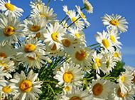 雏菊争相开放高清图片