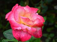 娇艳多姿的玫瑰花