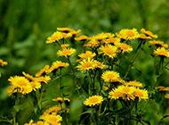 怒放的黄色野菊花图片