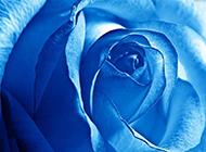 蓝玫瑰图片 娇艳含苞待放的蓝色妖姬