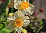 花香扑鼻的水仙花图片