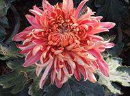 美丽盛放的菊花图片