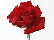 一枝艳丽的红玫瑰素材