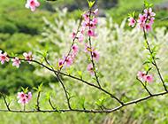 盛开的唯美桃花图片素材