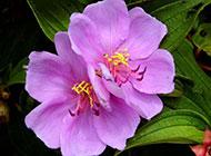 粉色植物野牡丹花图片