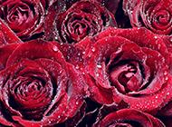 红玫瑰背景素材娇艳欲滴