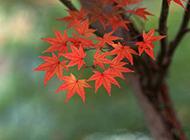 叶形秀丽的枫叶图片