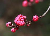桃花图片唯美粉嫩鲜花素材