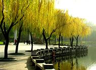 杨柳树图片优美婀娜