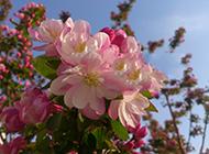 白海棠花图片娇美烂漫