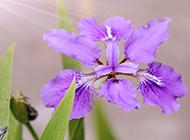 陽光下的紫色鳶尾花圖片