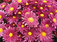 最美的菊花摄影图片