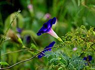 唯美意境的紫色牵牛花图片赏析