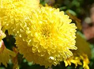绽放的黄色菊花图片