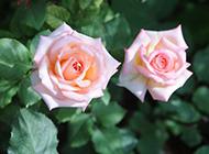 粉紅玫瑰花開圖片