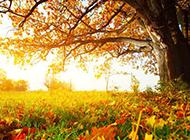秋天的楓樹唯美攝影圖片