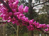 花色艳丽的紫荆花摄影图片