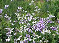 夏日盛放的紫色花朵图片