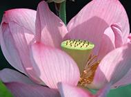 美丽盛放的莲花图片
