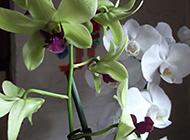 白色蝴蝶兰微距摄影图片