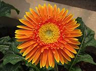 清雅秀丽的非洲菊花图片