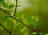 春天嫩綠的榆樹圖片