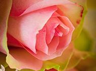 可爱娇媚粉红玫瑰图片下载