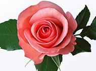 粉色玫瑰图片微距特写