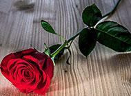 一支娇艳的红玫瑰图片素材
