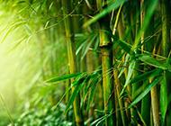 雨后翠绿的竹子高清图片