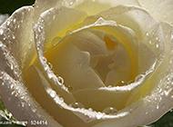 唯美的纯白玫瑰背景素材赏析