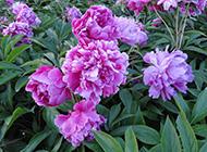 芍药花鲜艳的花丛写真图片