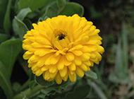 黄色山菊花图片特写