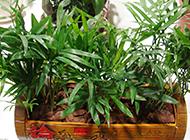 观赏竹子盆栽竹图片欣赏