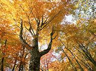 秋天金黃迷人的楓樹攝影圖片