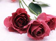 红玫瑰鲜花摄影图片
