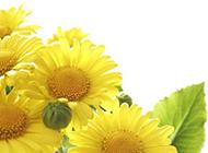 高清向日葵壁纸明媚迷人