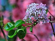 紫丁香花春天优雅花瓣特写图片素材